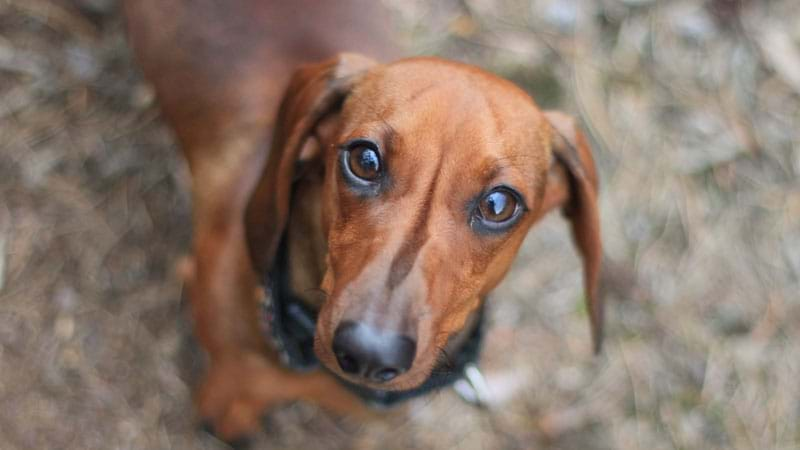 Article heading image for Woman Mauled To Death By Group Of Seven Sausage Dogs