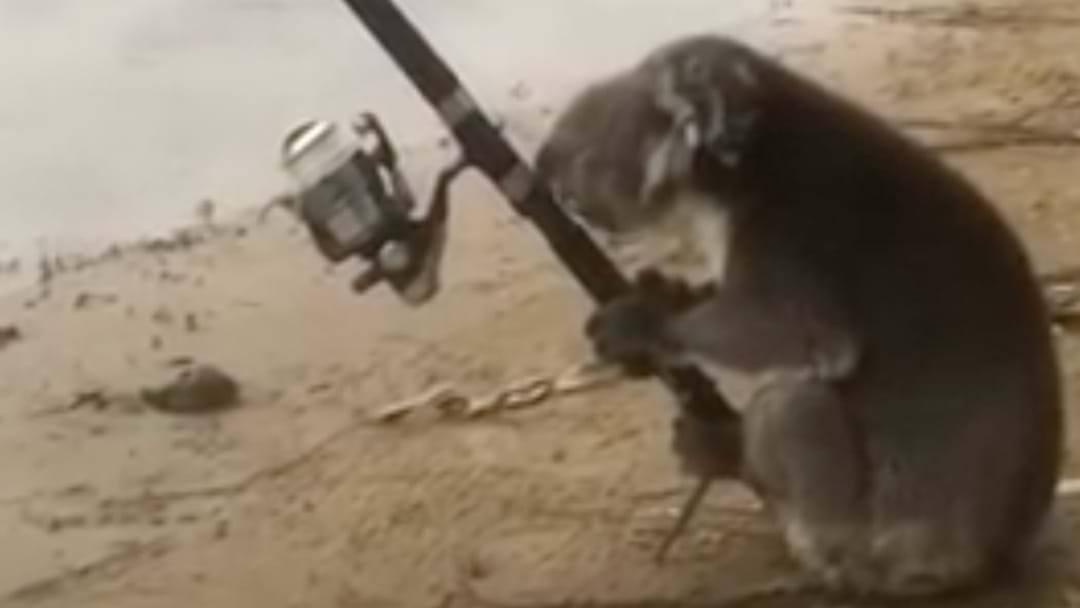 A Koala Actually Fishing Is The Most Aussie Thing You'll Ever See