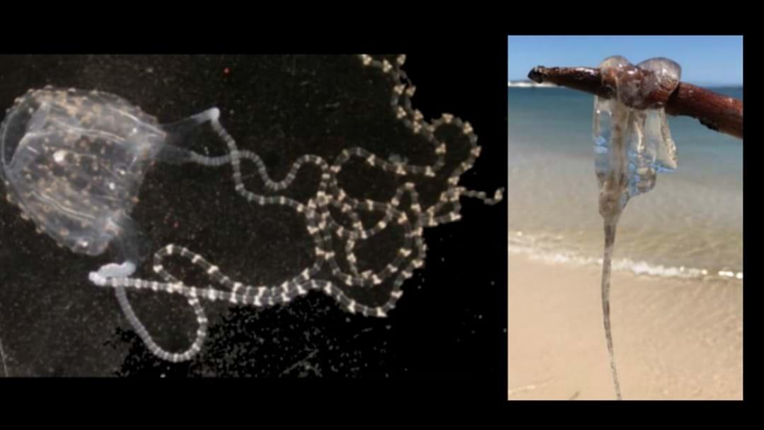 Dangerous Jellyfish Found In Lake Macquarie