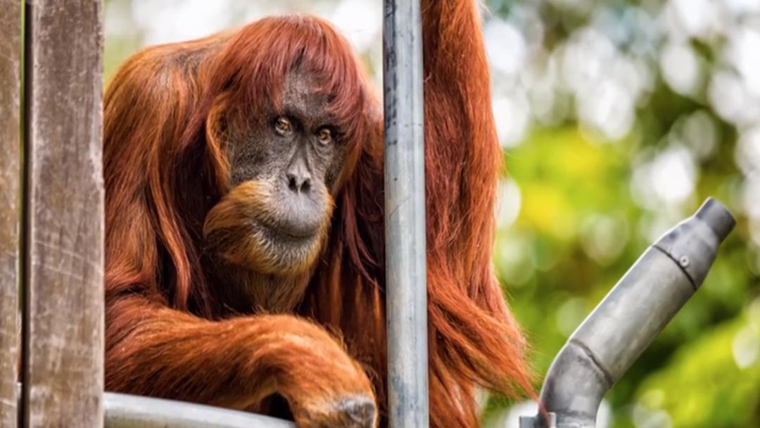 Perth Farewells World's Oldest Sumatran Orangutan