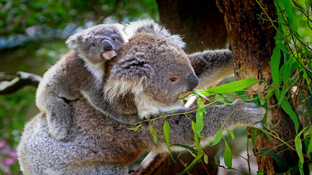 Plans In Place To Protect The Magnetic Island Koalas
