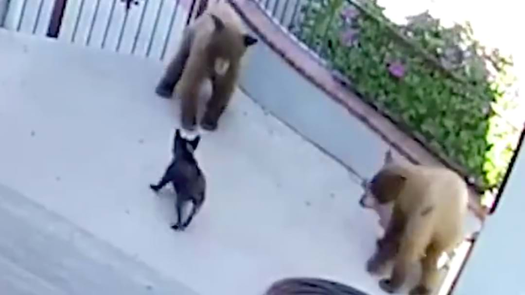 Little Champion Takes On Two Bears AND WINS!