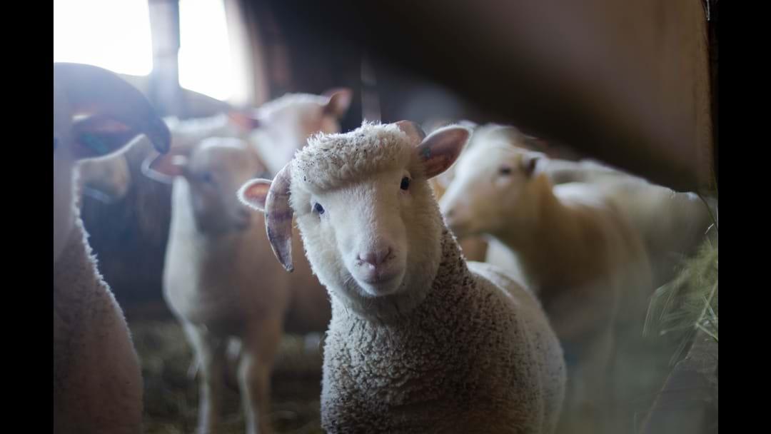 Hand Bottle Feed Lambs