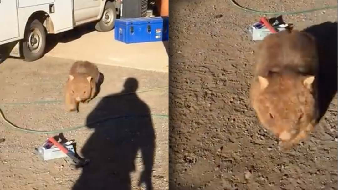 One Caller Tells The Full Story About The Wombat Who Attacked A Tradie