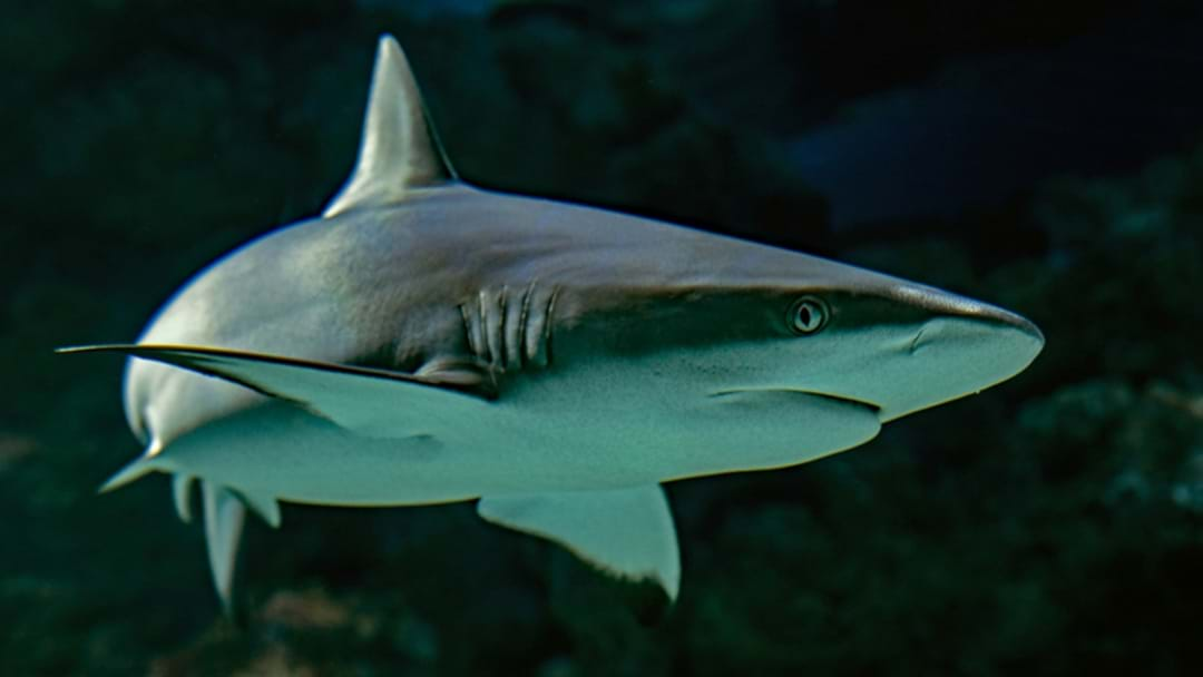 WA Government To Trial SMART Drumlines To Prevent Shark Attacks