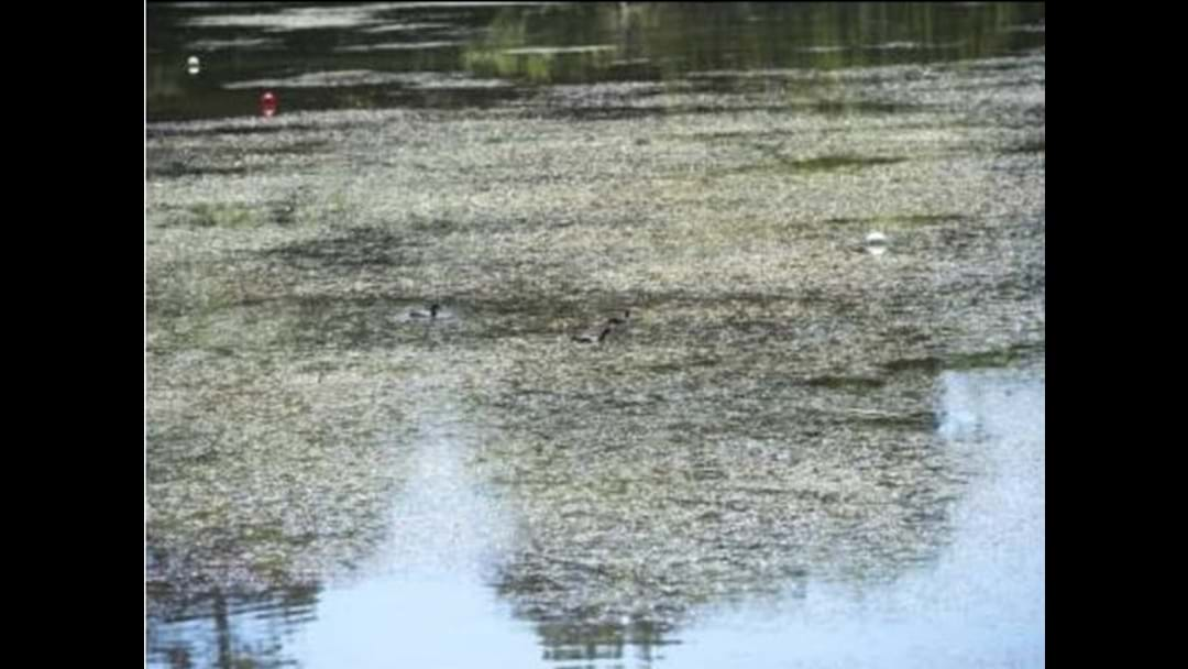 Council's plan to tackle weeds in Lake Weeroona