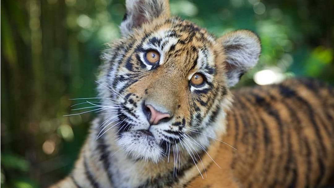 Dreamworld's Tiger Cubs Head Off On A New Adventure