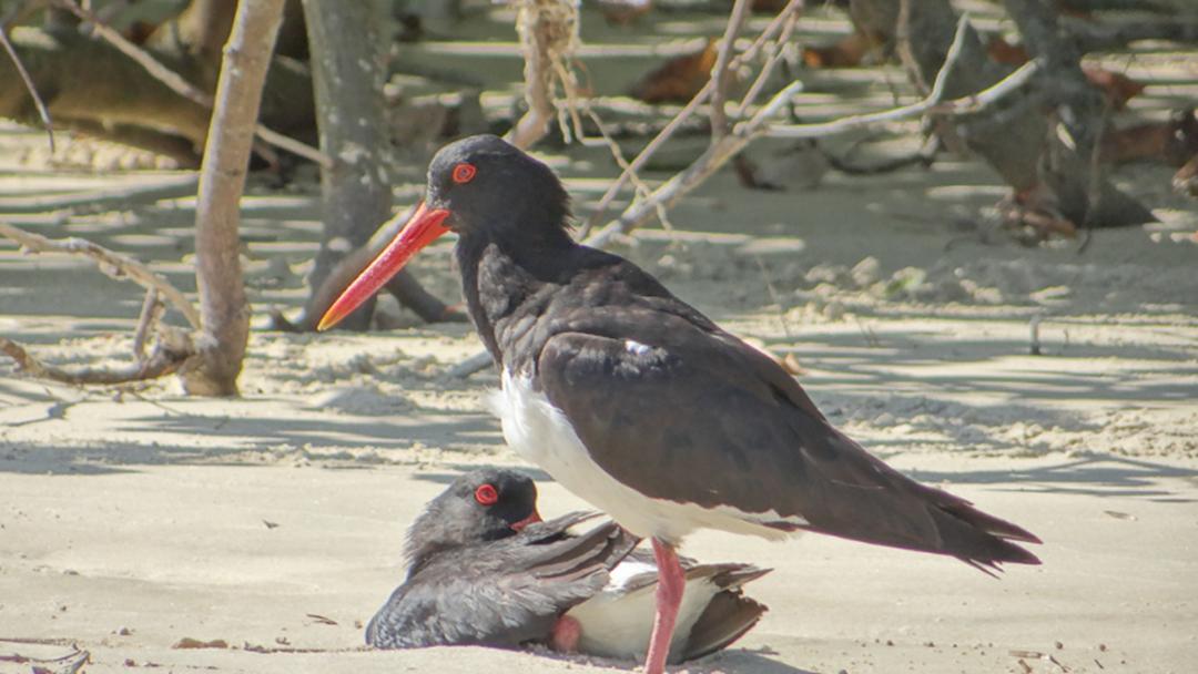 Endangered Birds Nesting on Coffs Coast Beaches