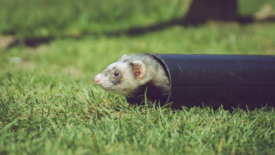 The Shepparton Show Wants Your Pet Ferrets For A Big Ferret Race Next Month!