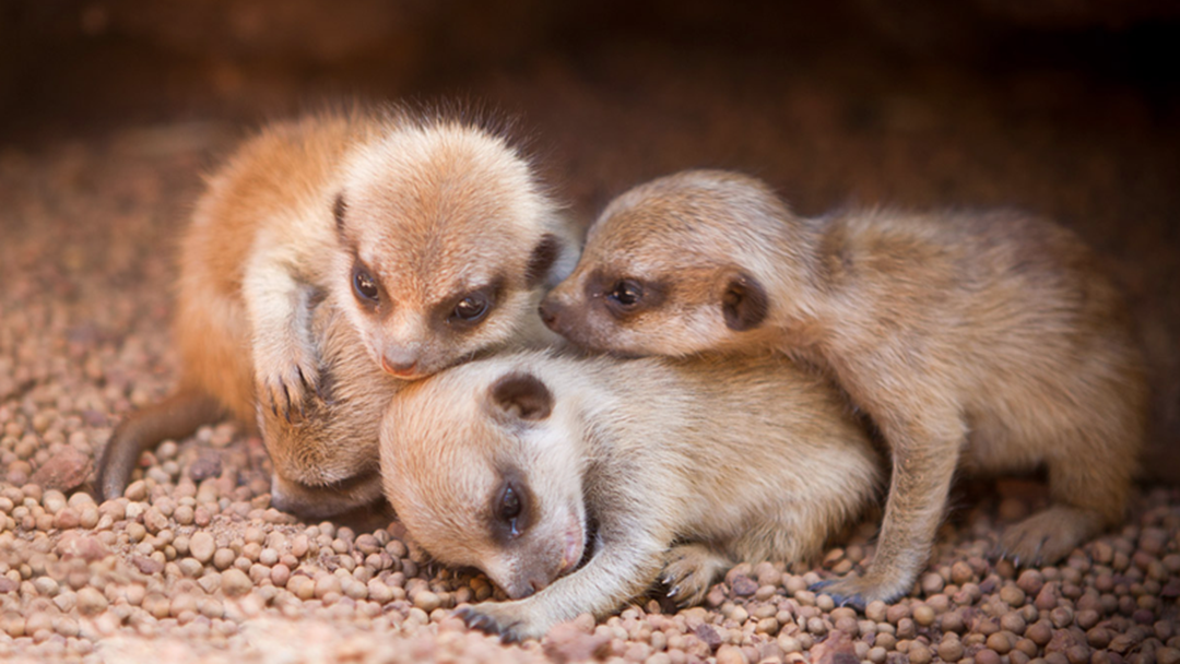Perth Zoo Desperately Searching For Missing Meerkat Baby