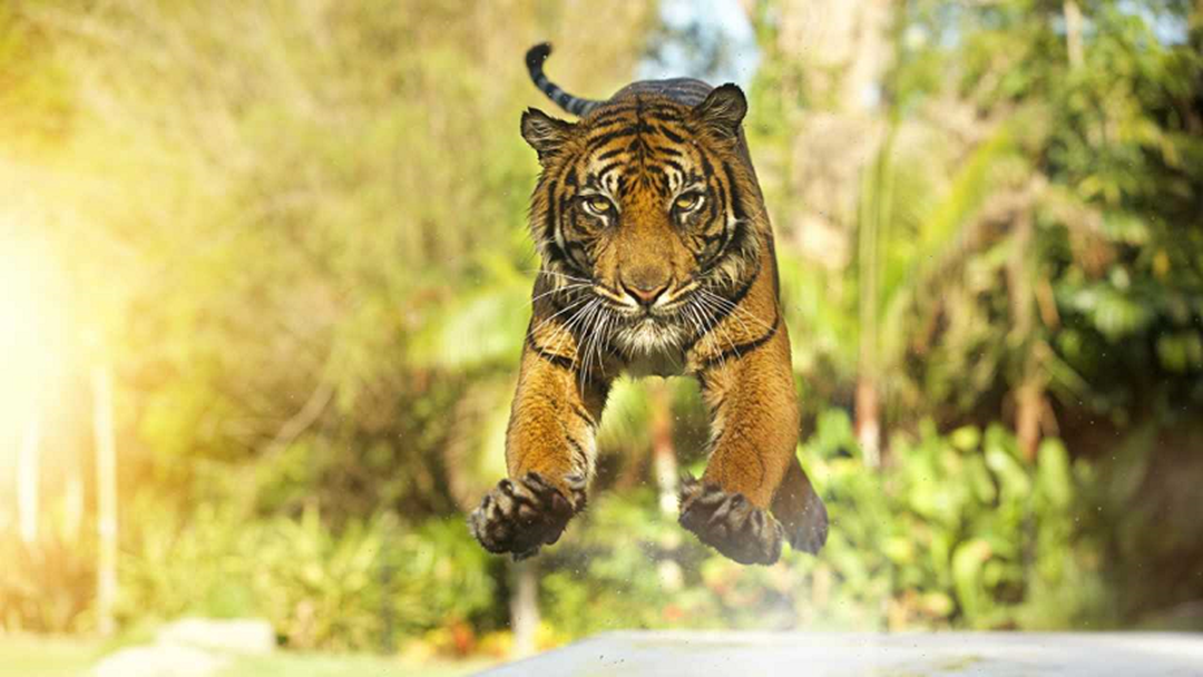 Tiger Numbers On The Rise Thanks To Dreamworld