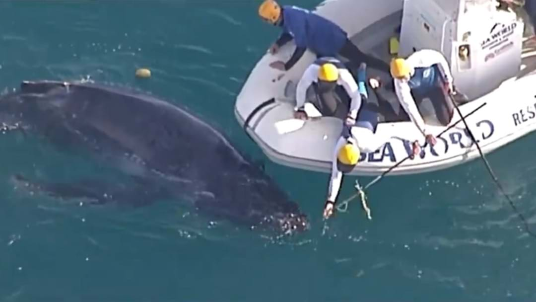 Young Whale Caught In Nets Off Gold Coast