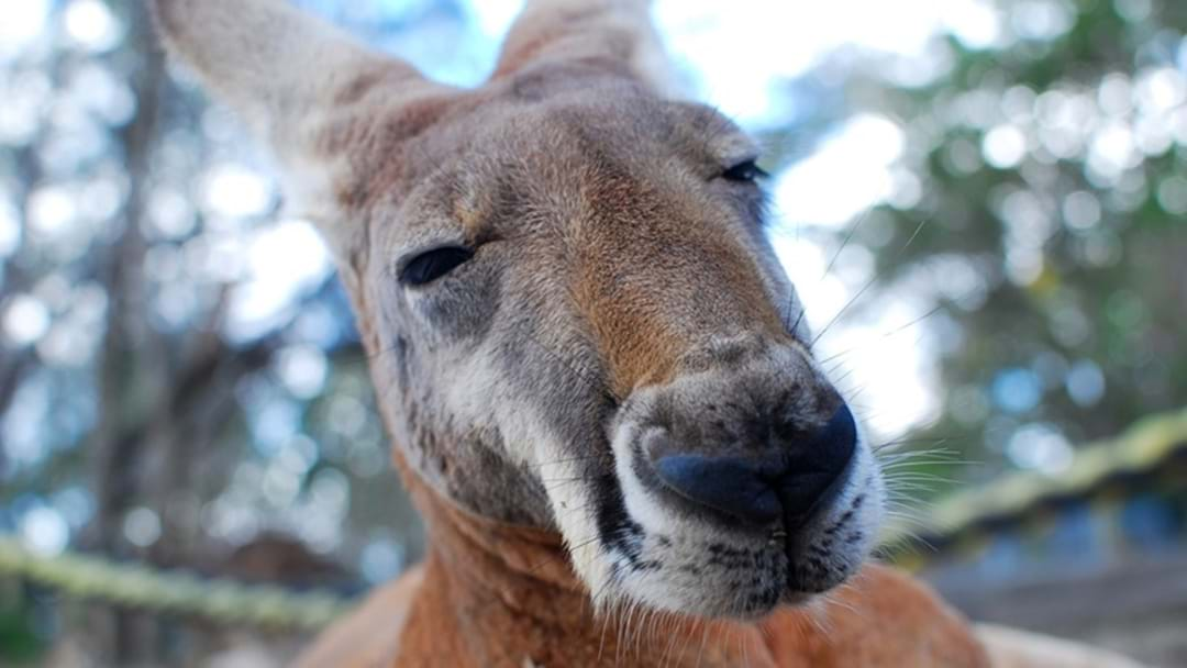 Kangaroo Attacks Darling Downs Trio