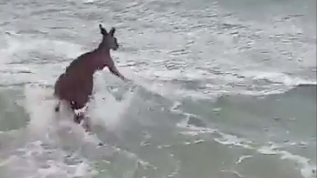 Police Rescue Kangaroo Struggling In The Surf