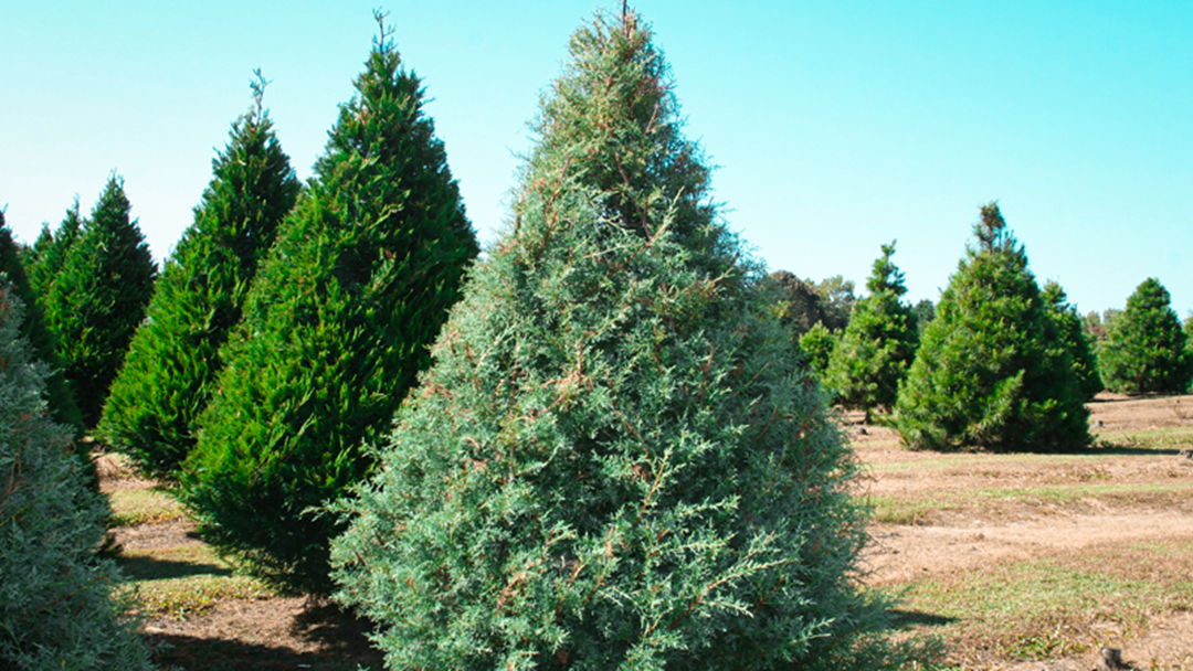 Rotary Clubs Central Coast Annual Christmas Tree Sale