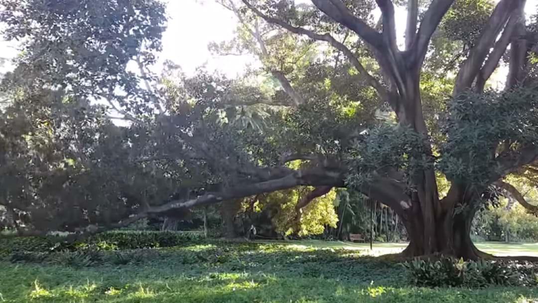 Massive Tree Collapse At UWA Caught On Camera