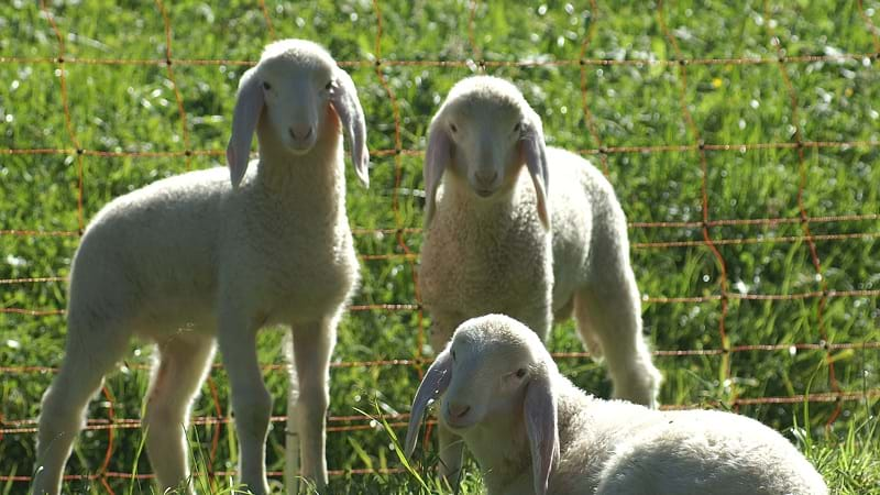 Article heading image for What makes a lamb a lamb? And a hogget a hogget? NEW DEFINITION CHANGE