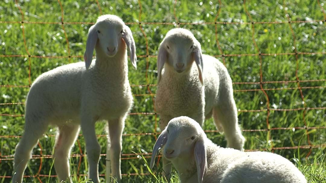 What makes a lamb a lamb? And a hogget a hogget? NEW DEFINITION CHANGE