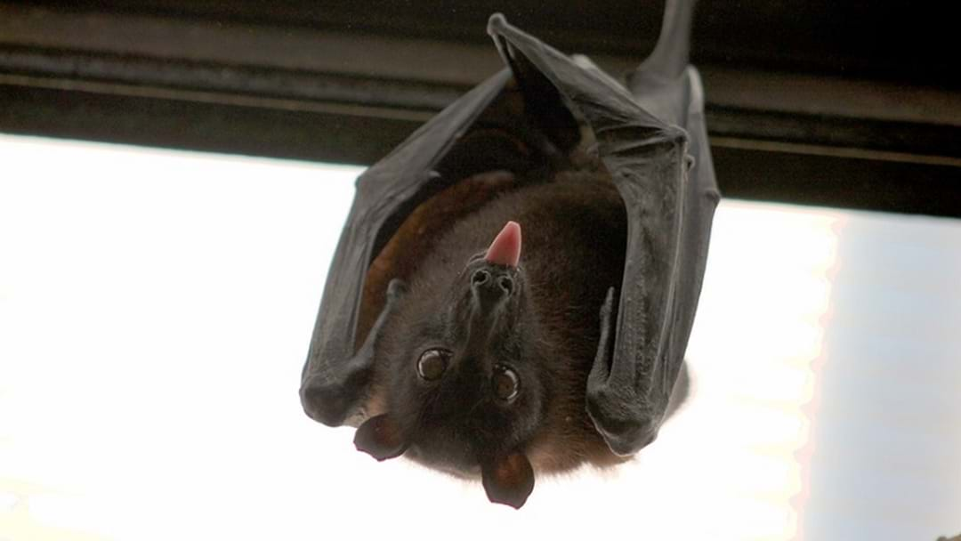 Residents Fight To Remove Flying Foxes From Coombabah