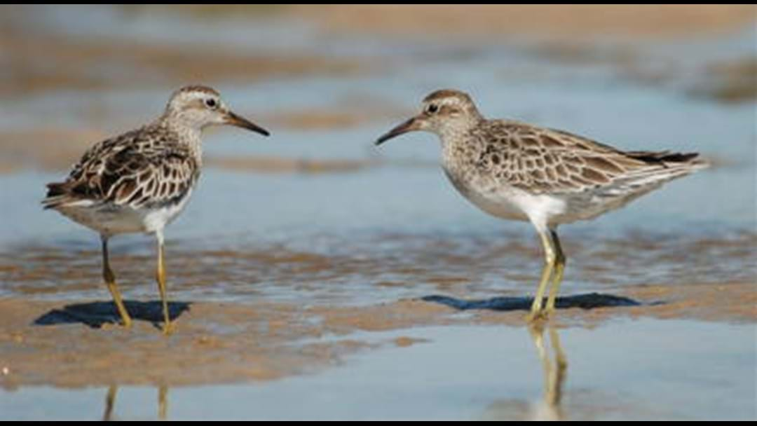 Shorebirds 2020 Survey Workshop