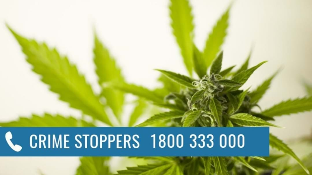Two Men Growing Cannabis Plants Have Been Arrested In Shepparton And Moe