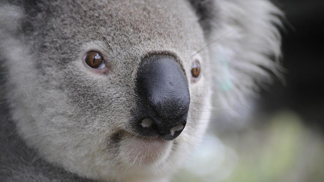 Koala Found Dead In Gold Coast Pool