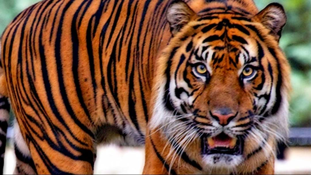 Houston Resident Looking For A Place To Smoke Finds Real Life TIGER