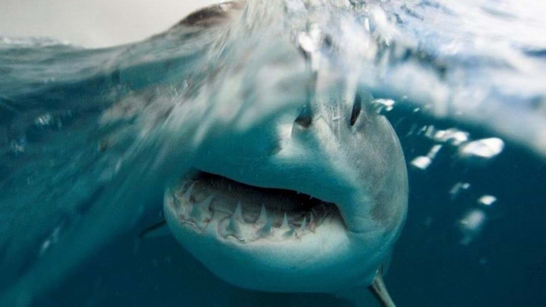First Great White Shark Caught In Gracetown's Drum-Line Trial