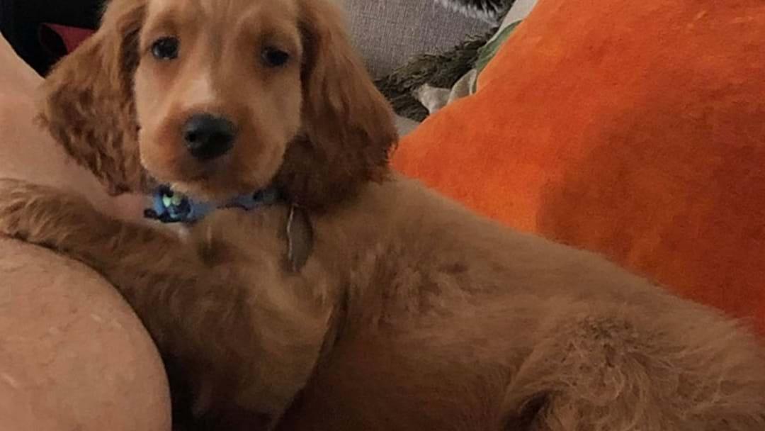 Huge Reward On Offer To Find Stolen Perth Puppy