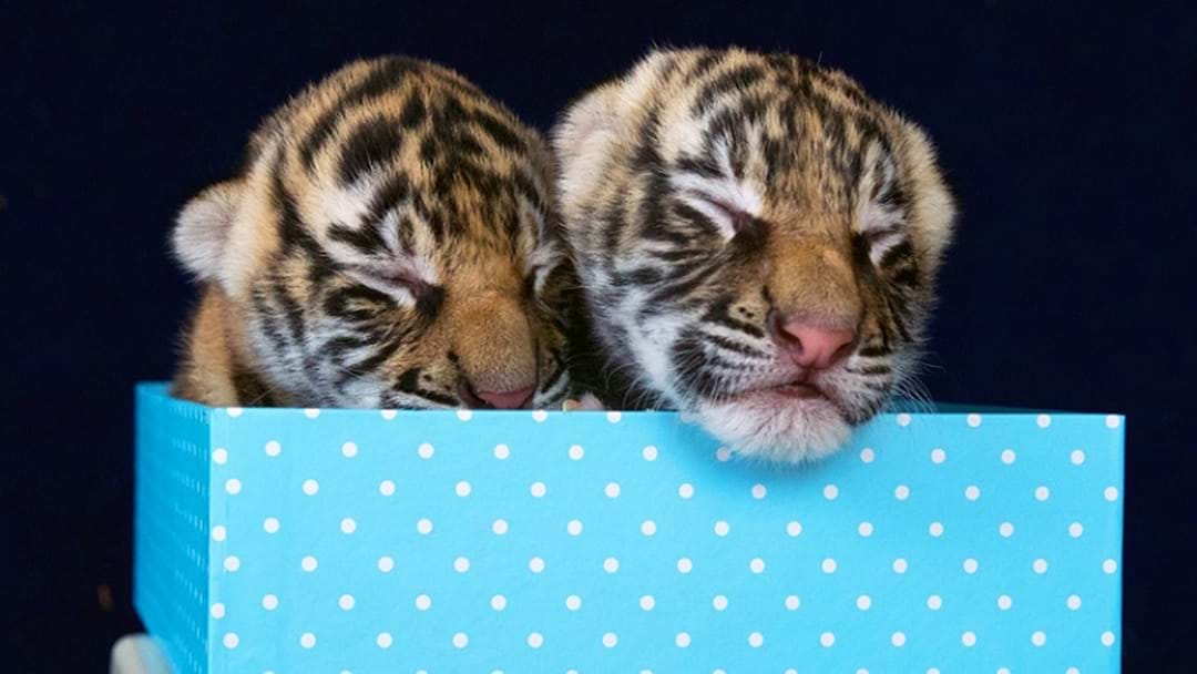 CUTE! Tiny Tiger Cubs Born To Mum Adira At Dreamworld