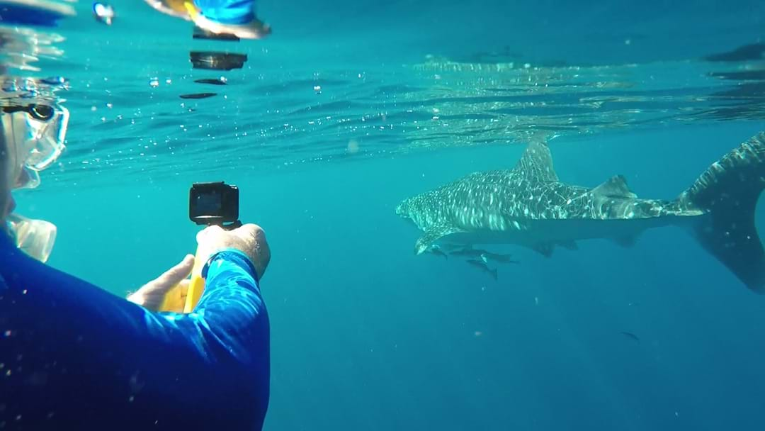 Coral Coast 2019: Swimming With Whale Sharks