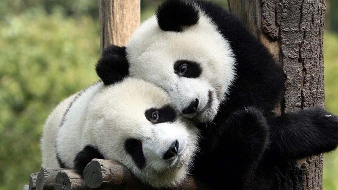 Mayor Wants Panda Swap With New Chinese Sister City