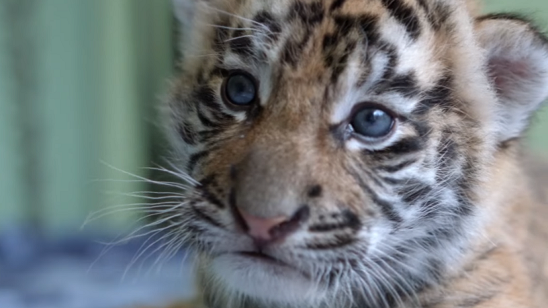 Dreamworld Reveals Name Of Four-Week-Old Tiger Cub