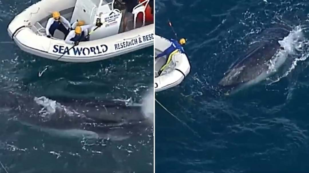 Distressed Whale Freed From Shark Nets In Waters Off Main Beach