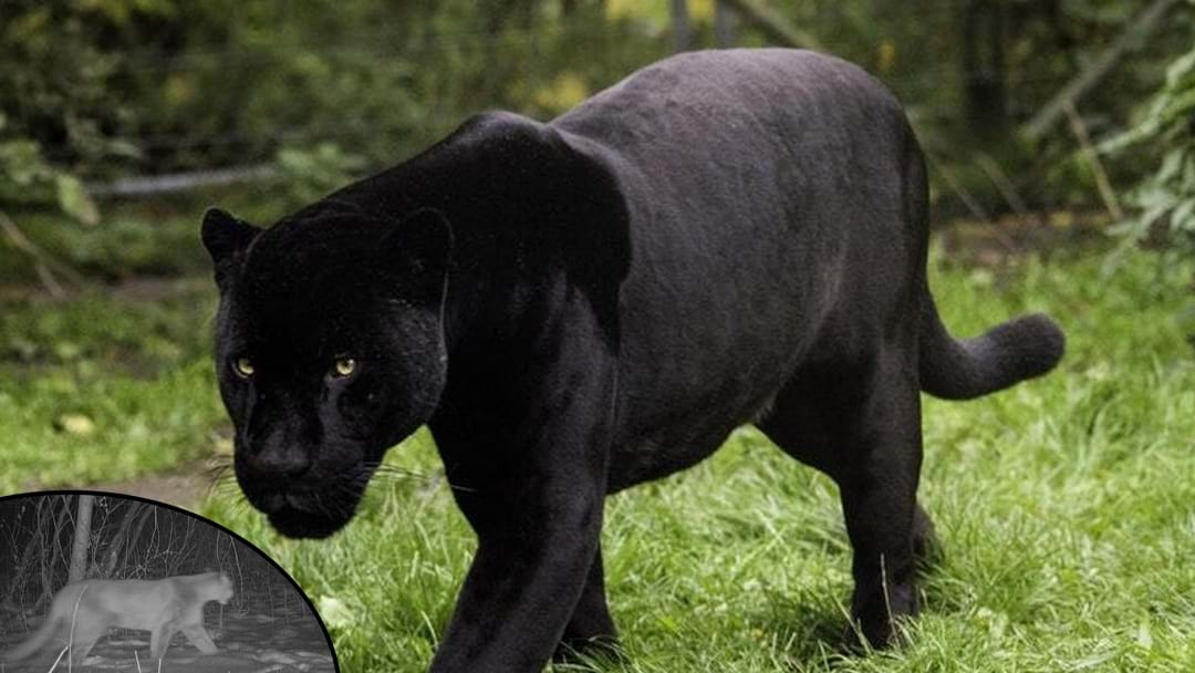 Is The Ourimbah Panther Real?