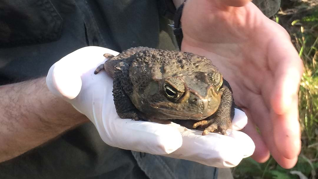 Cane Toads On The Central Coast?
