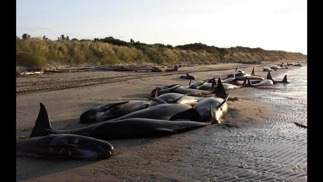 400 Whales Stranded On NZ Beach